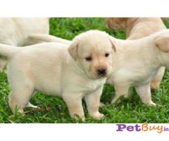 Labrador Puppies For Sale in Delhi