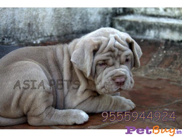 Neapolitan Mastiff Puppies For Sale In Delhi