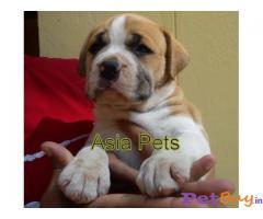 Pitbull Puppies For Sale in Delhi