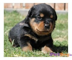Rottweiler Puppies For Sale in Delhi