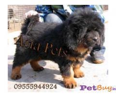 Tibetan mastiff Puppies For Sale in Delhi