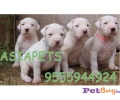 Dogo Argentino Puppies For Sale in india