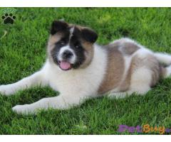 Akita Puppy For Sale in Delhi