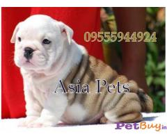 Bulldog Puppy For Sale in Delhi