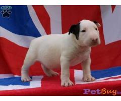 Bullterrier Puppy For Sale in Delhi