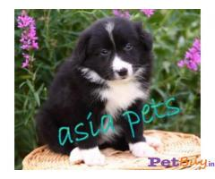 Collie Puppy For Sale in Delhi