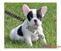 French bulldog Puppy For Sale in Delhi