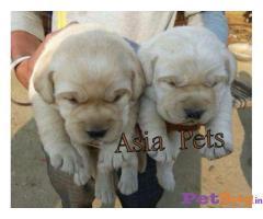 Labrador Puppy For Sale in Delhi