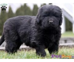 Newfoundland Puppy For Sale in Delhi