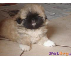 Pekingese Puppy For Sale in Delhi