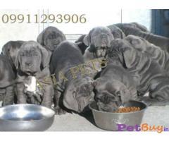 Neapolitan mastiff Puppy For Sale in Delhi