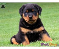 Rottweiler Puppy For Sale in Delhi