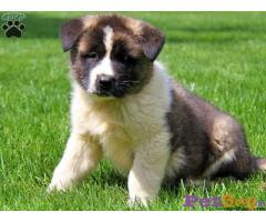 Akita Puppy Price In Delhi | Best Quality Puppy In Delhi