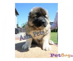 Caucasian shepherd dog Puppy For Sale in Delhi