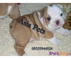 Bulldog Puppies For Sale in Delhi