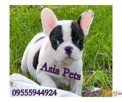 French bulldog Puppies For Sale in Delhi