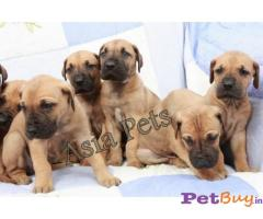 Great dane Puppies For Sale in Delhi