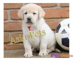 Labrador Puppies For Sale in Delhi