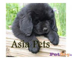 Newfoundland Puppies For Sale in Delhi