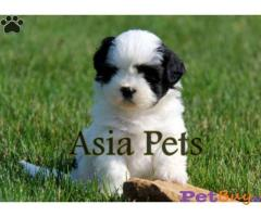 Havanese Puppies For Sale in delhi