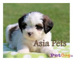 HAVANESE PUPPIES PRICE IN INDIA