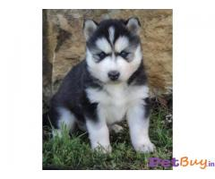 Siberian Husky Price In India | Siberian Husky For Sale In India |2|