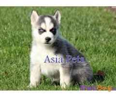 Siberian Husky Price In India | Siberian Husky For Sale In India |4|