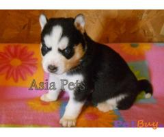 SIBERIAN HUSKY PUPPY PRICE IN INDIA