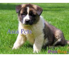 Akita Puppy Price In Bhubaneswar | Akita Puppy Price In Bhubaneswar |1|