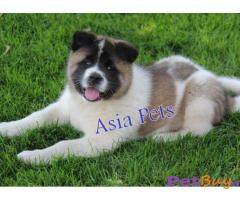 Akita Puppy Price In Bhubaneswar | Akita Puppy Price In Bhubaneswar |2|