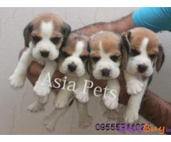 Beagle Puppy Price In Bhubaneswar | Beagle Puppy Price In Bhubaneswar |4|