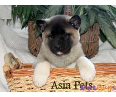 Akita Puppy Price For Sale in Mumbai