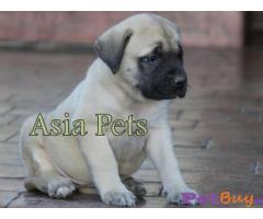 Bullmastiff Puppy Price For Sale in Mumbai