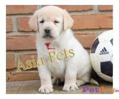 Labrador Retriever dogs for sale Delhi