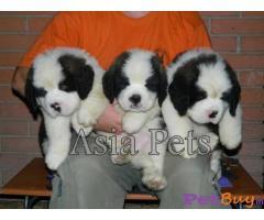Saint bernard puppy for sale india Delhi | Asia Pets