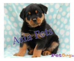 Asia Pets - Rottweiler puppies for sale in delhi