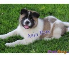 Akita Pup Price In Delhi | Akita Puppy Price In Delhi