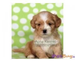 Lhasa apso Puppy Best Price In India