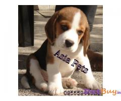 Healthy pedigree Beagle puppy price - Delhi New Delhi