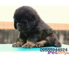 Tibetan Mastiff Puppy Price In Ahmedabad | 09555944924