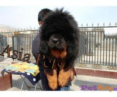 Asia pets : lion head tibetan mastiff pups for sale - Mumbai