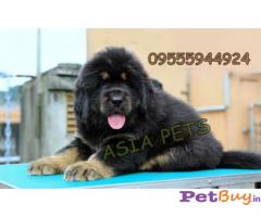 Tibetan mastiff puppy Delhi - Pets - Pet Accessories Delhi