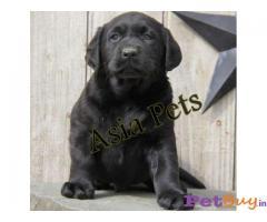 Black labrador puppy price in delhi | Black labrador puppy for sale in delhi