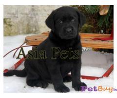 Black labrador puppies price in delhi | Black labrador puppies for sale in delhi