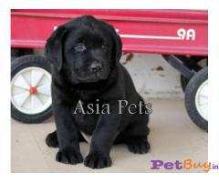 Black labrador puppies for sale in delhi | Black labrador puppies price in delhi