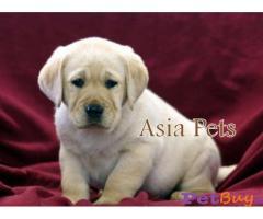 Labrador puppies for sale delhi Delhi - Pets - Pet Accessories Delhi
