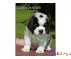 8 SAINT BERNARD PUPS FOR SALE WItH EXTRA ORDINARY QUALITY