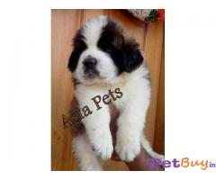 SAINT BERNARD PUPS FOR SALE WItH EXTRA ORDINARY QUALITY