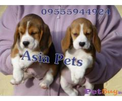Beagle Dogs For Sale In Gurgaon| Asia Pets.in 1