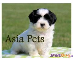 Havanese Price in India,Havanese puppy for sale in Pune, INDIA